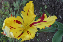 88 Gelb/Rote Tulpe/Yellow/Red tulip