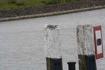 189 Seemöwe an einer Schleuse/Seegull at a watergate