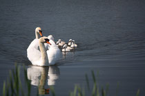 154 Schwanfamilie/Family of swans