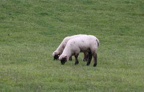 14 Schafe grasen/Sheeps browse
