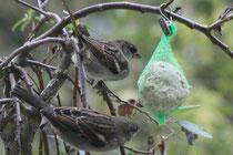 94 Spatzen am Knödel/Sparrows on a dumpling