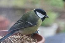 109 Meise im Vogelfutter/Tit in bird seed