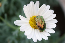 41 Magerite mit Käfer/Daisies with beetle