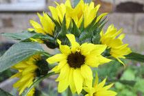 98 Sonnenblume/Sunflower