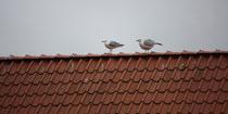 182 Seemöwen auf einem Dach/Seagulls on a roof