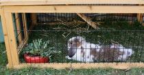 34 Zwergkanninchen/Dwarf rabbit