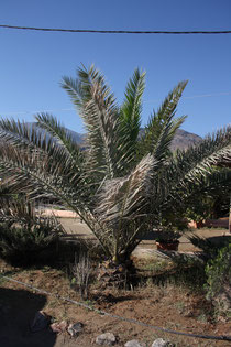 136  Palme/Palm