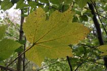 44 Weinblatt/Vine leaf