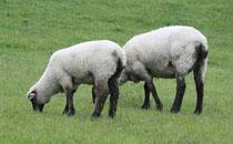 3 Schafe grasen/Sheeps browse