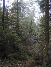 natürlicher gesunder Plenterwald