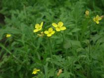 セルバチコの花