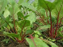赤軸法蓮草