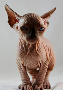 Sphynx Kittens and Cats for sale |TICA Indigo Sphynx Cat