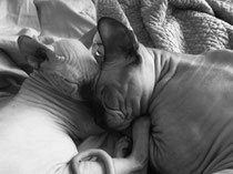 Indigo Sphynx Cat Care