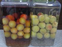 今年も自家製梅の実の自家製梅酒が完成<左がブランディ味:右がホワイトリカー味>