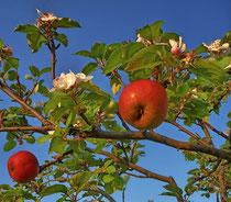 Apfelwunder