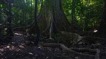 Dschungel Cat Tien, Weg zum Crocodile Lake, Mammutbaum im Dschungel