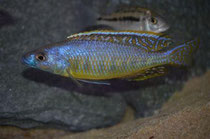 Mylochromis gracilis