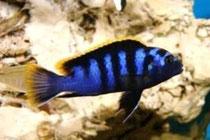 """Labidochromis sp. """"mbamba bay"""""""