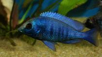 "Placidochromis phenochilus ""giselli"""