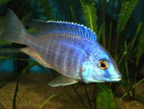 "Placidochromis sp. ""elektra blue hongi"""