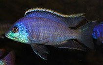 "Placidochromis sp. ""blue otter"""