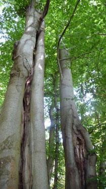 Baumpfleger-Eitorf-Baumkontrolle