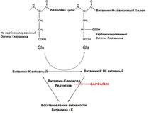 Рисунок 2.  Молекулярный механизм работы Витаминов К. Действие Варфарина.