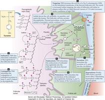 Рис. 49-3. Синтез тиреоидных гормонов в