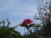 Wild English Rose