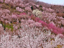 イメージ写真:福島県花見山の桜