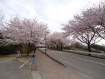 桜のトンネル♪
