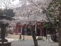 桜の鞍馬山