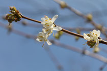 Lonicera fragrantissima © Photo P. Lamour