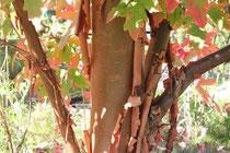 Acer griseum @ P. Lamour