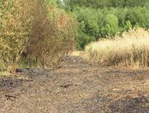 verbrannter Schilfgürtel, 2011