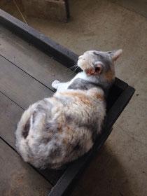 太陽園芸の看板猫のまる子