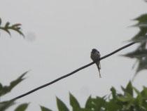 雨の中じっと耐えてる幼いツバメさん