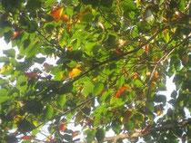 ブナの紅葉 美しい!