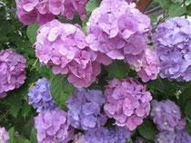 美しすぎる!紫陽花