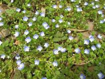 春の野原は満天の星(オオイヌノフグリ)
