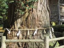 1000年過ぎた杉(*^。^*)