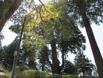 由来八幡宮 若葉と千年杉