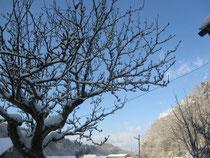 我が家の梨の木にもふんわり春の雪
