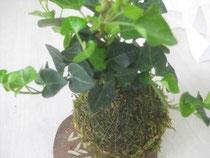 アイビーの苔玉作りました すくすく成長中