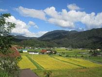 秋の田園風景 黄色い絨毯を敷き詰めたようです