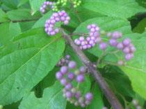 紫色のムラサキシキブ!きれい❤