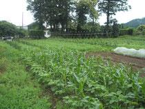 トウモロコシと枝豆を仲良く混植