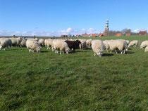 dunkles Schaf