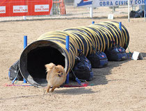 Agility, tunnel rigide, photo Jorge Arcas, Arkuin